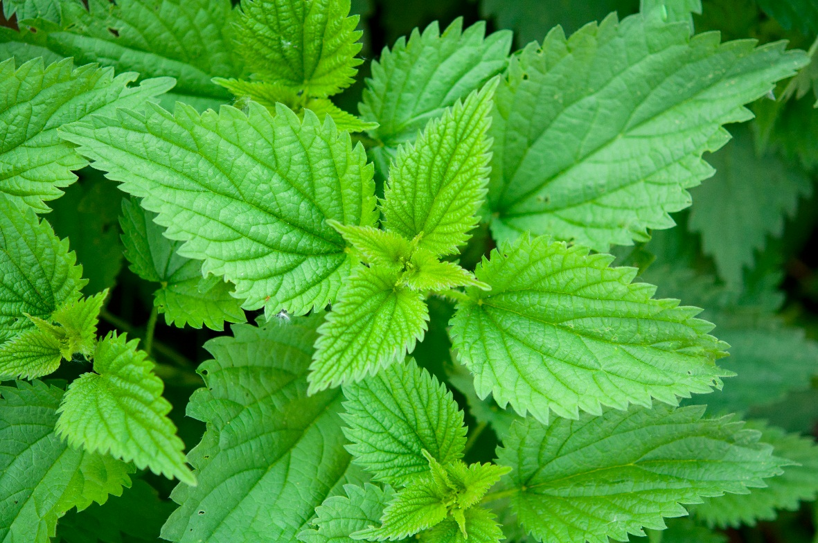 nettle-plant-medicines