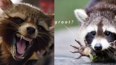 Photo of 30 Hilarious Rocket Raccoon Memes That Will Have You Roll