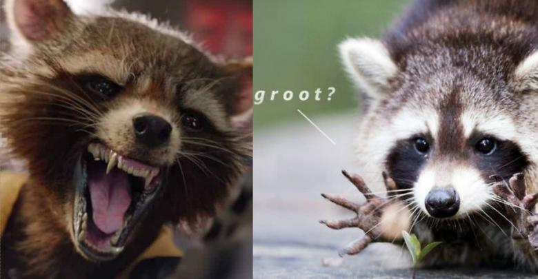 Rocket Raccoon Memes